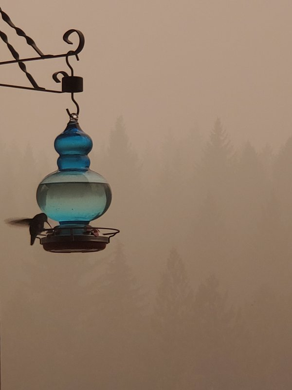 Hummingbird in the smoke. Oregon wildfire 2020 thumbnail