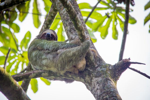 Sloth in Tree, Costa Rica thumbnail