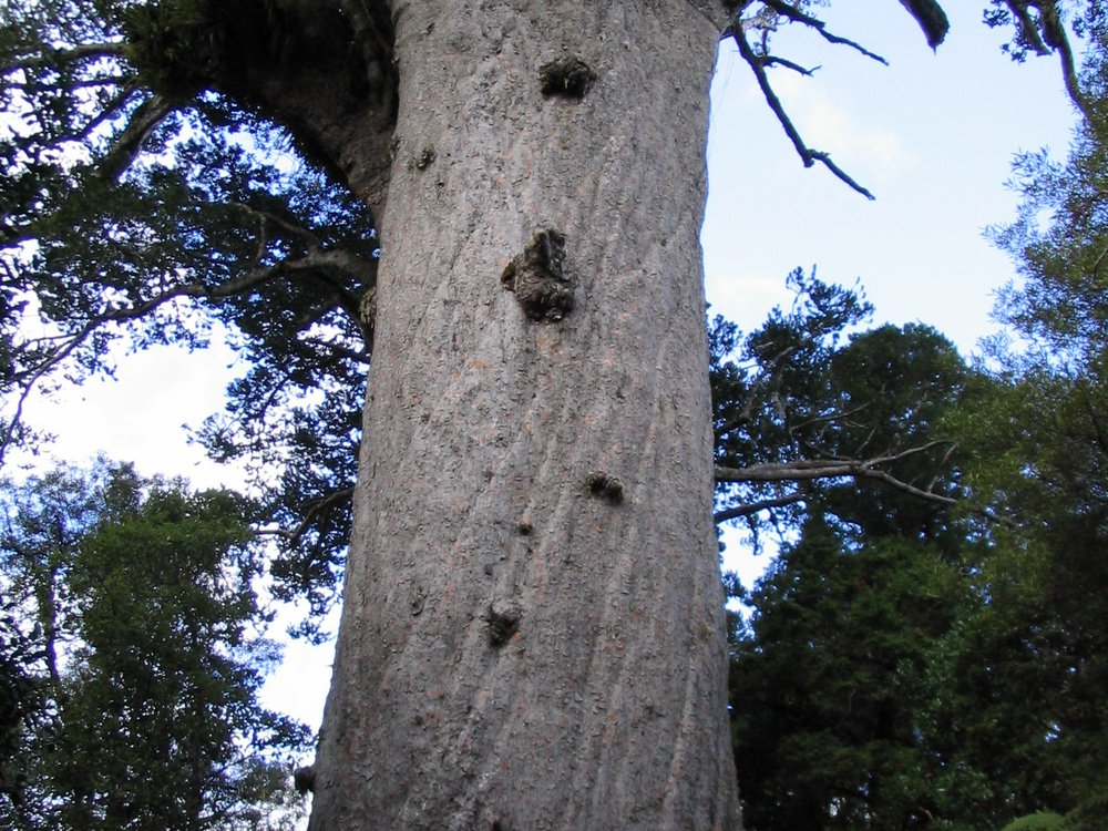 Tane Mahuta in the Waipoua Kauri Forest