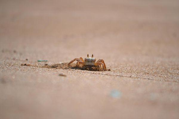 Sandy Crab thumbnail