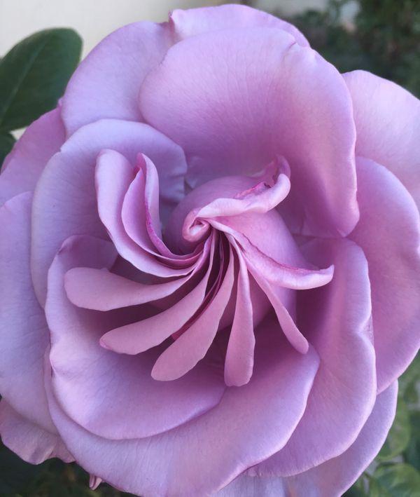 Neptune Hybrid Tea Rose perfect center thumbnail