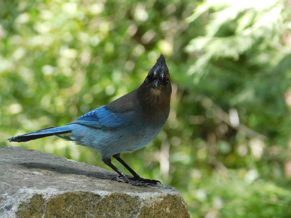 Stellers jay stares curiously at photographer thumbnail