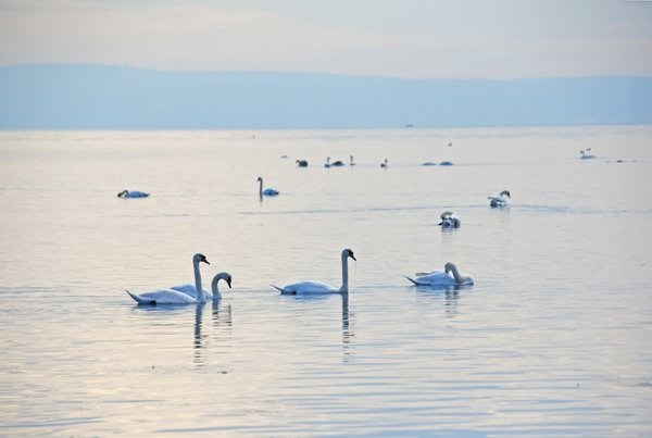 swans in the sea thumbnail
