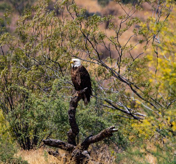 A Bald Eagle perches on dead cactus near the Salt River in Arizona thumbnail