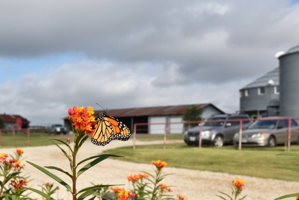 Monarch Butterfly Migration October 2016 thumbnail