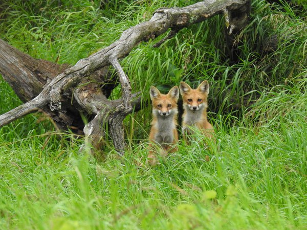Fox buddies thumbnail