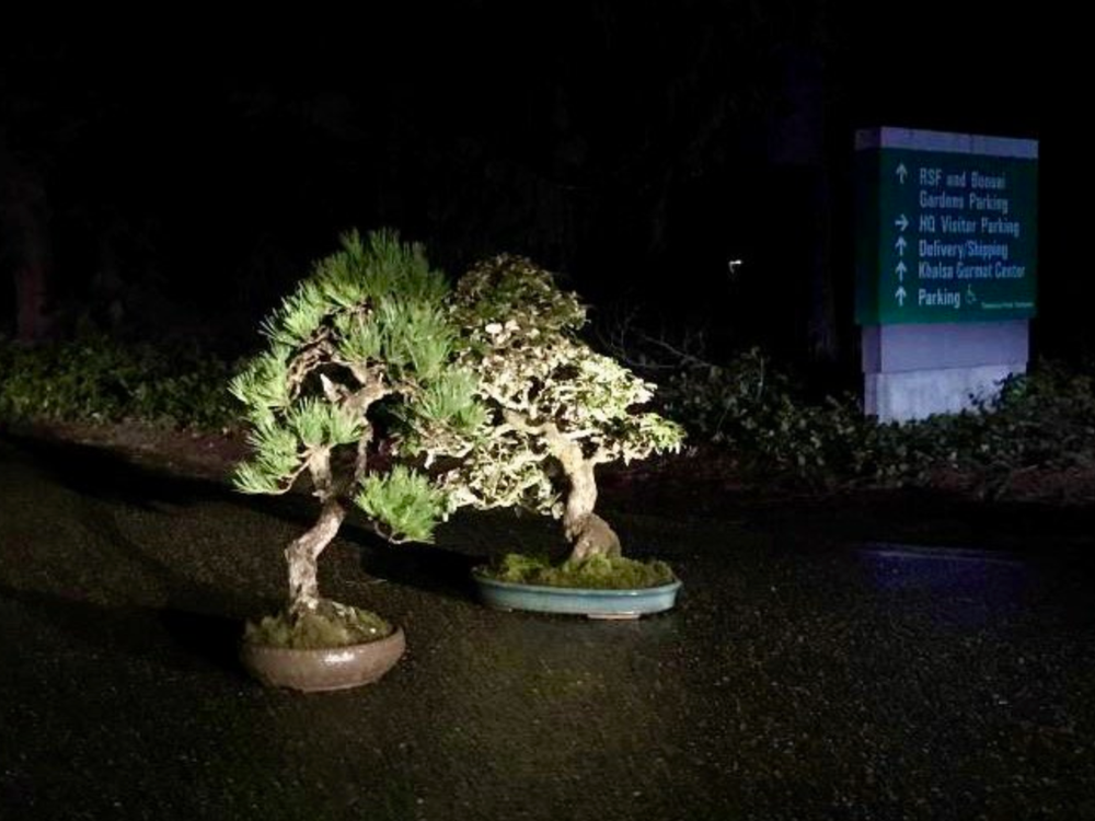 Two bonsai trees lit by headlights at the museum driveway entrance