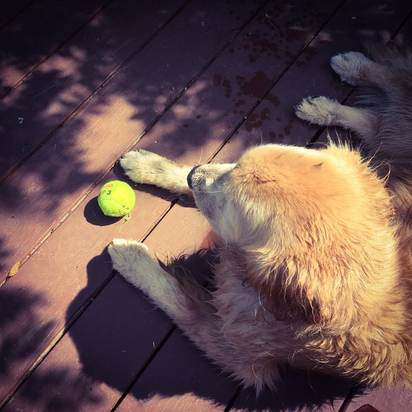 Jessie, a Golden Retriever, at the lake cabin. thumbnail