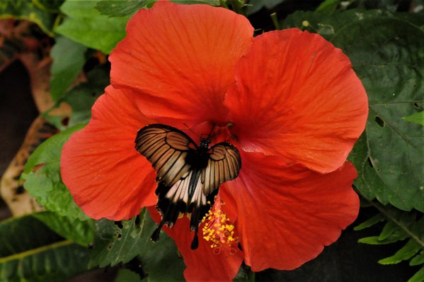 Butterfly enjoying a Hibiscus Flower thumbnail