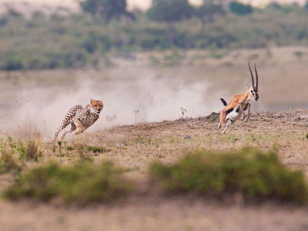Cheetah Hunting Prey