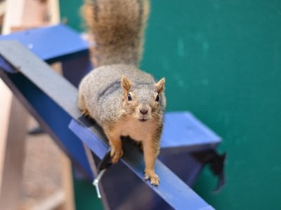 A fox squirrel perched on part of an experiment designed to test its agility and decision-making. Researchers used peanuts to entice the rodents to participate.