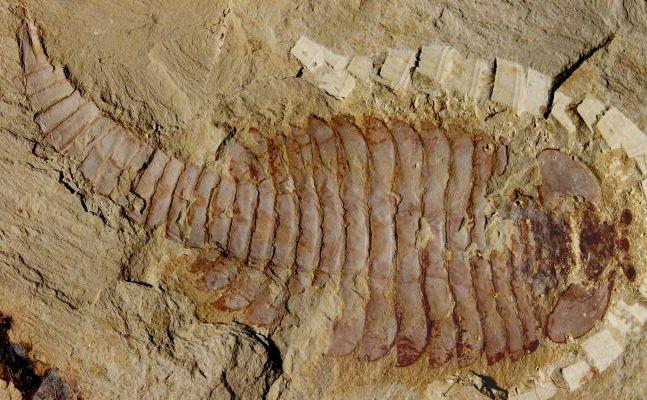 fossil brain