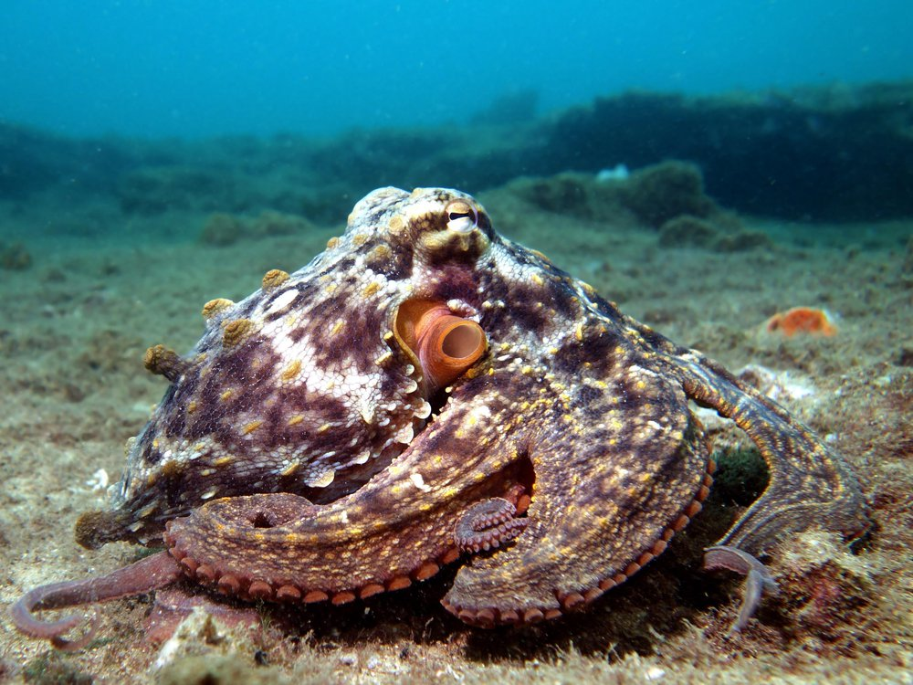 A common Sydney octopus that has brownish red coloring with light speckles against the ocean floor