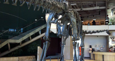The backside of Diplodocus, photographed at the Utah Field House of Natural History