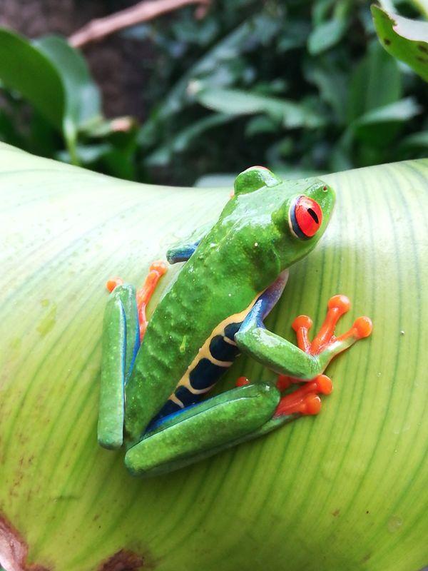Beautiful red-eyed tree frog thumbnail