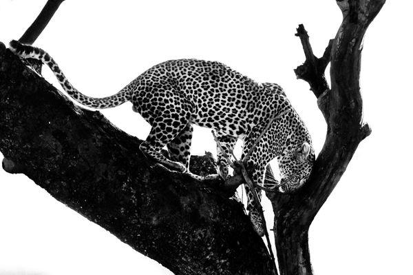 Pure leopard thumbnail