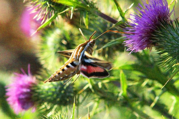 A Nymph taking a snack from a thistle thumbnail