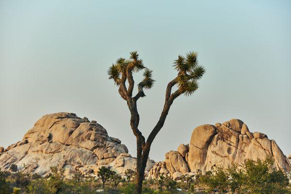 Joshua Tree at sunset thumbnail