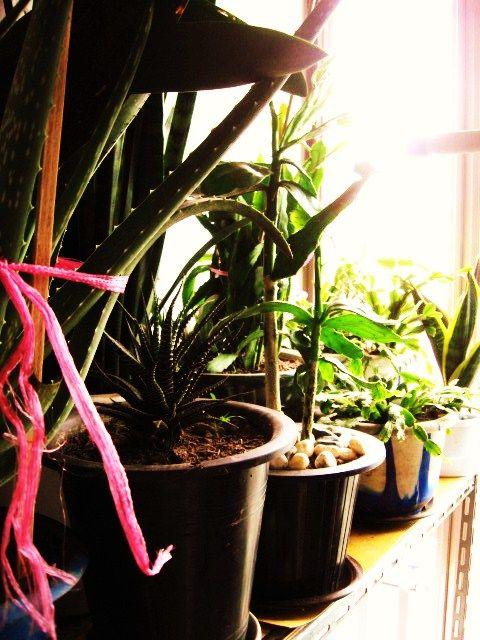 Aloe Plants thumbnail
