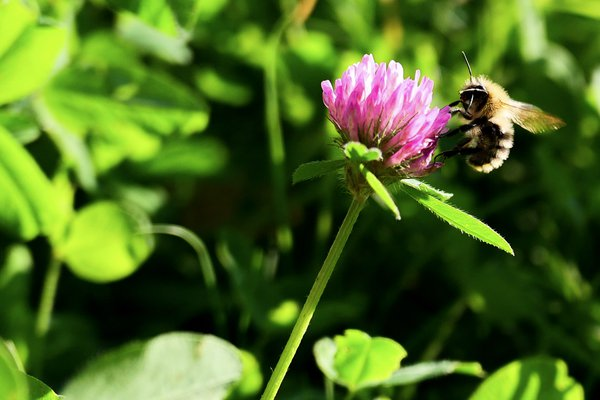 Bee with Clover Flower thumbnail