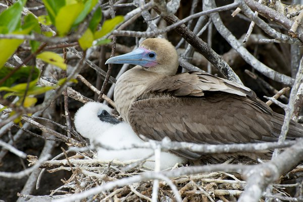 Red Footed Booby with chick thumbnail