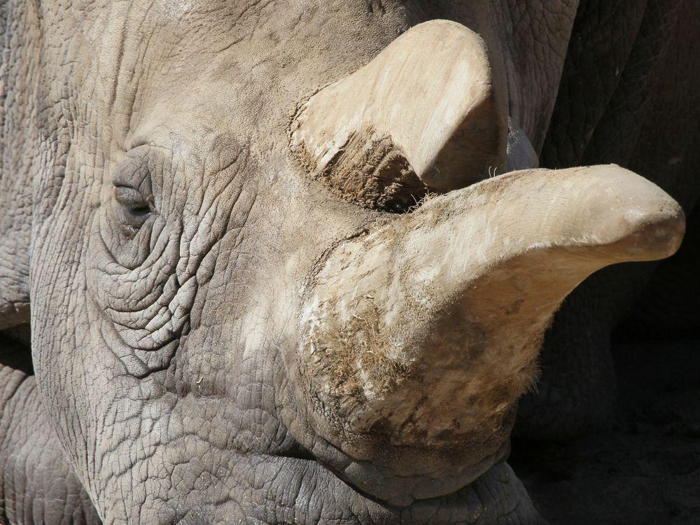 Nola northern white rhino