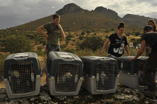 Release of four griffon vultures. thumbnail