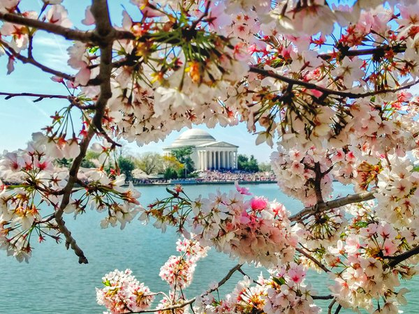 The Jefferson memorial through the cherry blossoms thumbnail