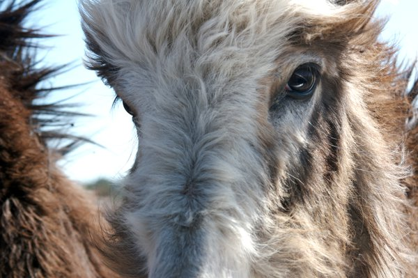 A wild burro looks into the wind in Custer State Park, SD. The park has been home to its herd since the 1930s. thumbnail