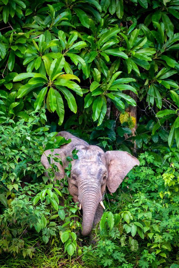 Bornean Pygmy Elephant thumbnail