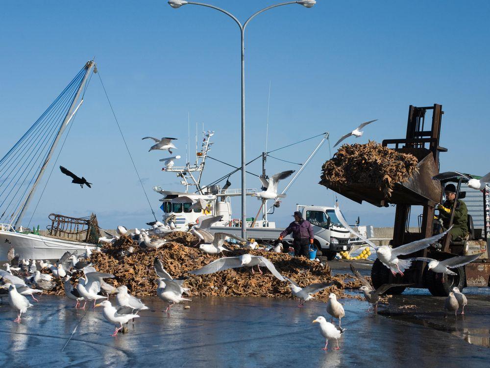 Gulls feeding on dead starfish dumped on quay from fishing trawlers in Hokkaido, Japan