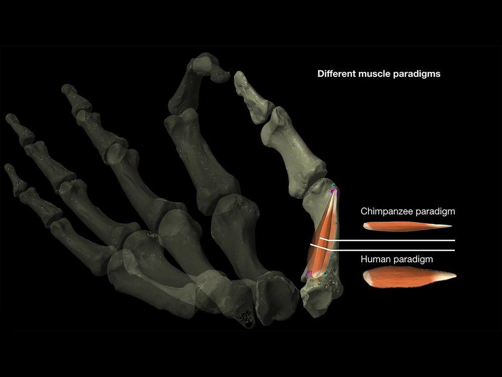 Human And Chimpanzee Thumb Muscles
