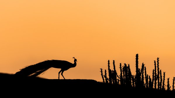 A male Indian peafowl silhouetted against the morning sky thumbnail