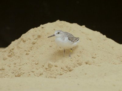 A sanderling, Aldrin, is one of the shorebirds being cared for by the Smithsonian's National Zoo's Bird House team.