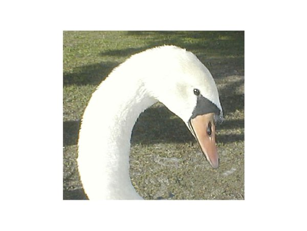 Mute swan stops by for lunch. thumbnail