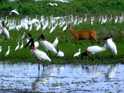 the biodiversity of the Pantanal is outstanding. There is a great abundant of birds and a large quantity of mammals as shown in the big picture above. In this picture alone we can see at least four species of birds and a female Marsh deer. (W. Tomas)