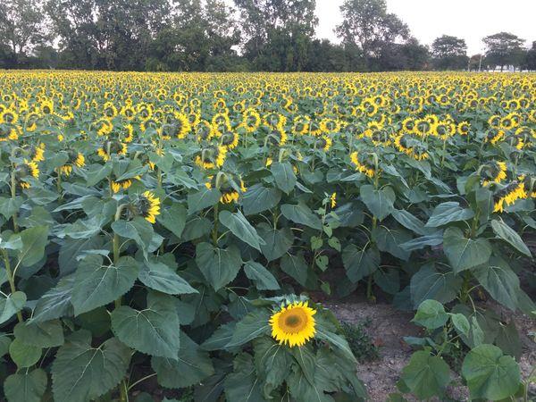 Sunflower farm thumbnail