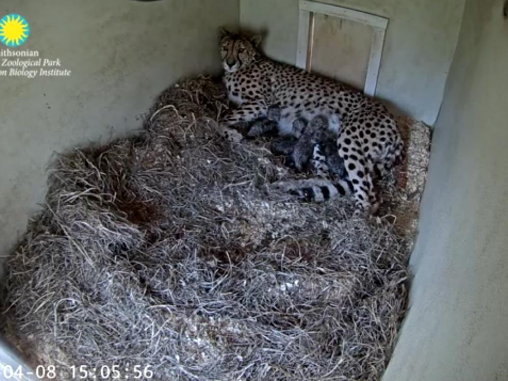 Echo nursing her four cubs