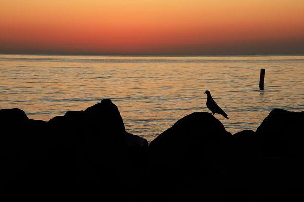 Rock Pigeon Silhouette thumbnail