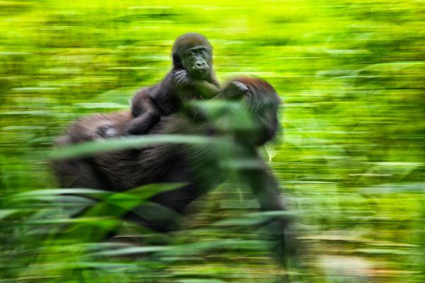 Con mamá gorila thumbnail