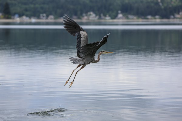 Great Blue Heron Takes Flight over the Puget Sound thumbnail