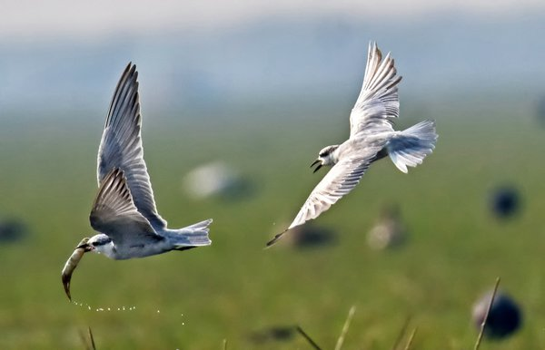 whiskered tern chasing for food thumbnail