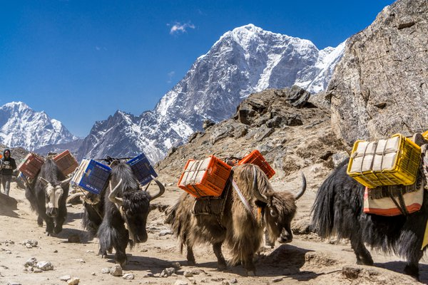 Yaks Travel from Everest Base Camp thumbnail
