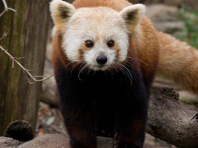 Shama, a red panda at the National Zoo, died August 16.