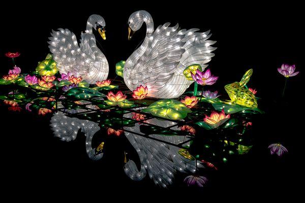 Mating swans thumbnail