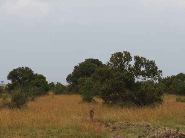 Big cat camouflage in Kenya thumbnail