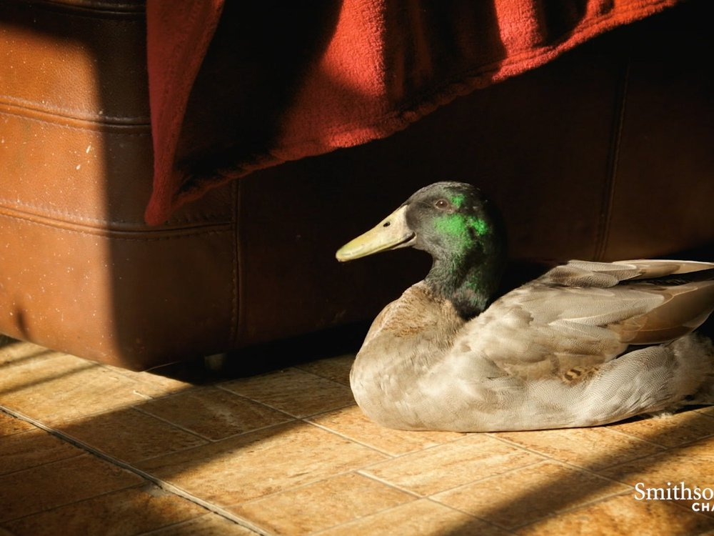 Preview thumbnail for video 'This Duck's Unusual Upbringing Explains His Fear of Water
