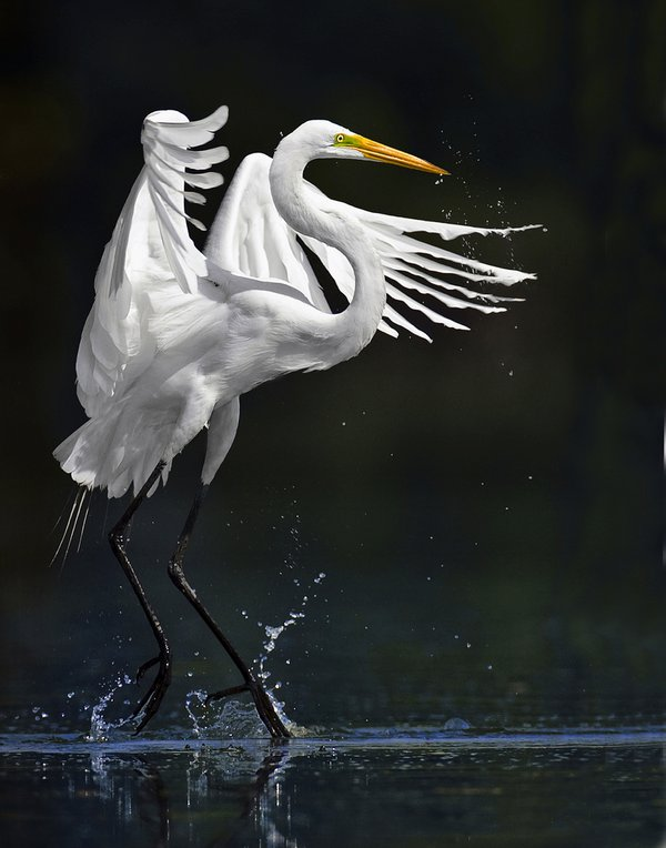 Great Egret fishing action in shallow waters thumbnail