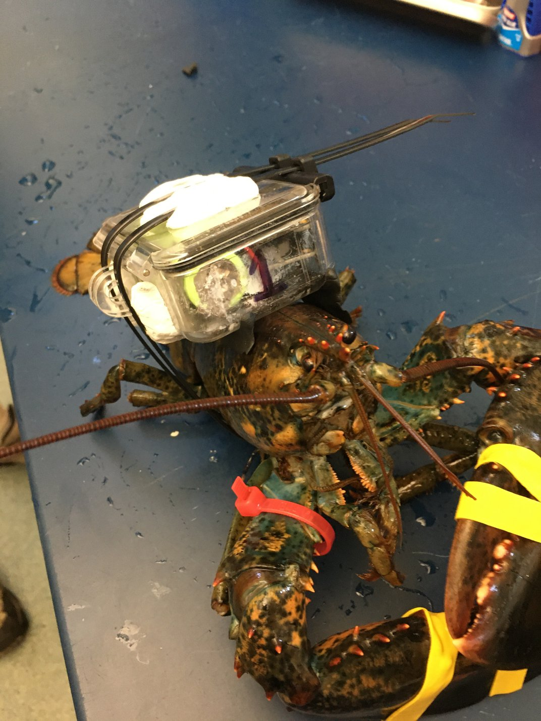 A New Device Tracks Lobsters as They Move Through the Supply Chain