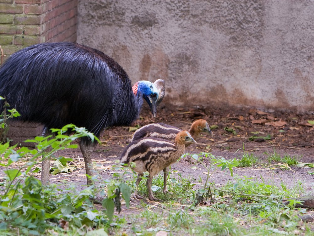 An photo of a male southern cassowary with two young chicks at a zoo in Amsterdam